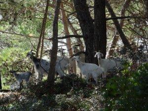 goats posing on St Nicholas isl